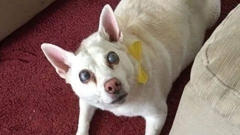 Cachorra queda ciega debido al estrés causado por fuegos artificiales — Cachorra