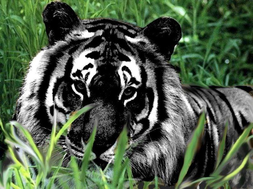 Captan a un tigre negro, un animal al borde de la extinción