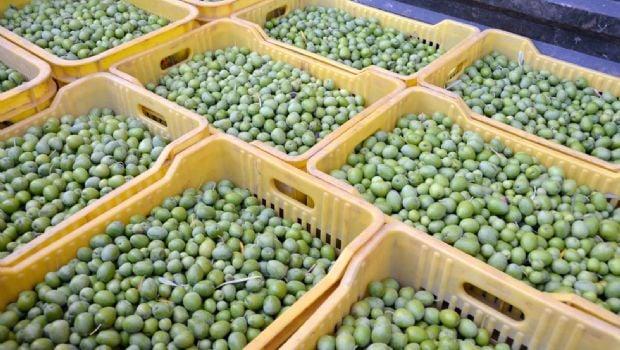 Pequeños productores olivícolas  cosecharon más de 1.200.000 kilos