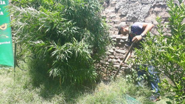 Intentaban capturar a ladrones y encontraron plantación de marihuana en el centro